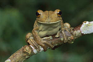 Map Treefrog (Hyla geographica) portrait, Tambopata-Candamo Nature Reserve, Peru - Thomas Marent