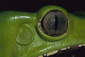 Giant Monkey Frog (Phyllomedusa bicolor) head, Tambopata-Candamo Nature Reserve, Peru  -  Thomas Marent