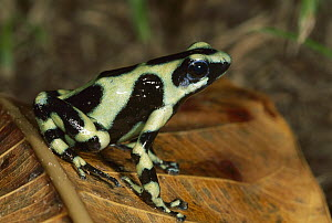 Green and Black Poison Dart Frog (Dendrobates auratus), Costa Rica  -  Thomas Marent