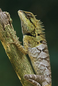 Tree Dragon (Gonocephalus sp) on branch, Khao Sok National Park, Thailand - Thomas Marent