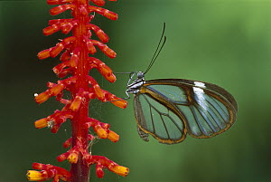 Glasswing Butterfly (Ithomania sp), Tingomaria, Peru - Thomas Marent