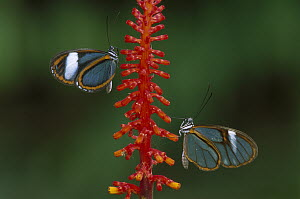 Glasswing Butterfly (Ithomania sp) pair, Tingomaria, Peru - Thomas Marent