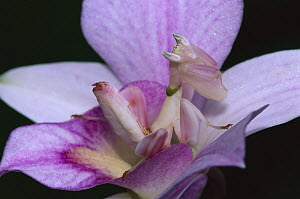 Orchid Mantis (Hymenopus coronatus) female mimicking a pink flower, Cameron highlands near Tapah in West Malaysia  -  Thomas Marent