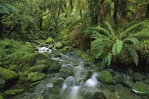 Creek flowing through temperate rainforest, Fjordland National Park, New Zealand - Thomas Marent