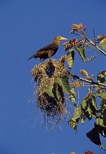 Russet-backed Oropendola (Psarocolius angustifrons) on nest, Manu, Peru  -  Thomas Marent