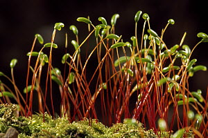 Moss detail showing fruiting heads with spore capsules, Switzerland - Thomas Marent