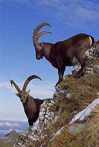 Alpine Ibex (Capra ibex) males, Switzerland - Thomas Marent