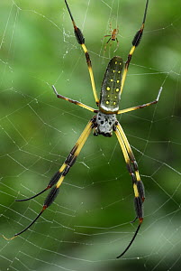 Banana Spider (Nephila clavipes) female and smaller male, Bocas del Toro, Panama  -  Thomas Marent