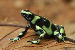 Green and Black Poison Dart Frog (Dendrobates auratus), Corcovado National Park, Costa Rica  -  Thomas Marent