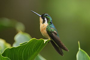 Purple-throated Mountain-gem (Lampornis calolaemus) hummingbird female, Costa Rica  -  Thomas Marent