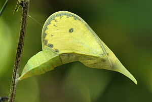 Cloudless Sulphur (Phoebis sennae) chrysalis, Colombia - Thomas Marent