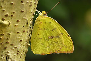 Cloudless Sulphur (Phoebis sennae) butterfly, Colombia - Thomas Marent
