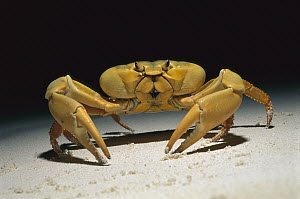 Yellow and Purple Land Crab (Gecarcinus lagostoma) walking on the beach at night, Rocas Atoll, Brazil - Luciano Candisani