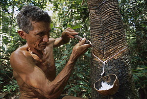Rubber tapper extracting latex, Tapajos Arapiuns Reserve, Amazon, Brazil  -  Luciano Candisani