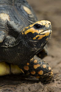 Red-footed Tortoise (Geochelone carbonaria) portrait, Bonito, Brazil  -  Luciano Candisani