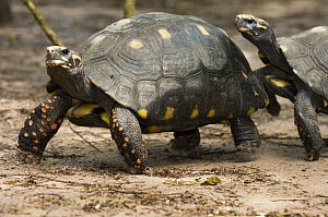 Red-footed Tortoise (Geochelone carbonaria) pair, Bonito, Brazil  -  Luciano Candisani