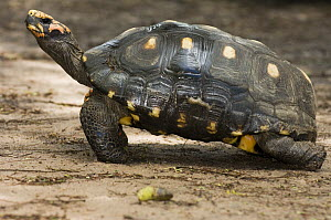 Red-footed Tortoise (Geochelone carbonaria), Bonito, Brazil  -  Luciano Candisani