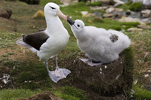 Black-browed Albatross (Thalassarche melanophrys) chick begging parent for food, Saunders Island, Falkland Islands - Luciano Candisani