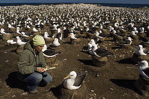 Black-browed Albatross (Thalassarche melanophrys) researcher Tatiana Neves in nesting colony, Steeple Jason Island, Falkland Islands - Luciano Candisani