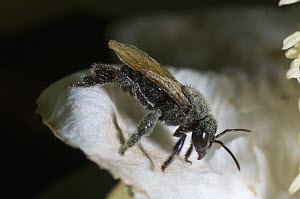 Native Bee covered with pollen, Atlantic Forest, Brazil  -  Luciano Candisani