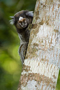 Common Marmoset (Callithrix jacchus) on tree trunk, Atlantic Forest, Rio De Janeiro, Brazil  -  Luciano Candisani