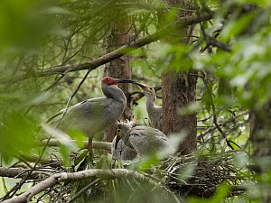 Crested Ibis (Nipponia nippon) in nest with begging chicks, China - Mitsuaki Iwago