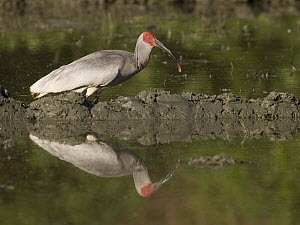 Crested Ibis (Nipponia nippon) standing in water, China - Mitsuaki Iwago