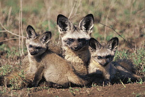Bat-eared Fox (Otocyon megalotis) mother and pups, Africa - Mitsuaki Iwago