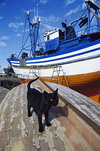 Domestic Cat (Felis catus) on the hull of an overturned boat in a shipyard - Mitsuaki Iwago