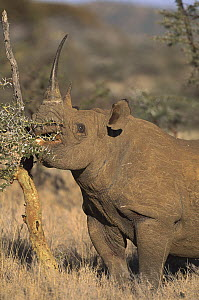 Black Rhinoceros (Diceros bicornis) browsing on acacia tree, Lewa Downs Reserve, Kenya - Kevin Schafer