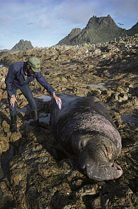 Northern Elephant Seal (Mirounga angustirostris) researcher marking large bull, Farallon Islands, California - Kevin Schafer