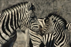 Burchell's Zebra (Equus burchellii) mother and baby nuzzling, Namibia - Jim Brandenburg