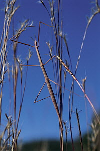 Giant Walking Stick (Megaphasma dentricus) camouflaged among prairie grasses, North Dakota  -  Jim Brandenburg