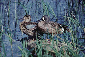 Blue-winged Teal (Anas discors) male and female, Minnesota  -  Jim Brandenburg