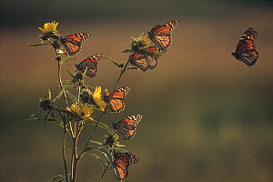 Monarch (Danaus plexippus) butterfly group resting on Giant Sunflower (Helianthus giganteus) during migration, Iowa - Jim Brandenburg