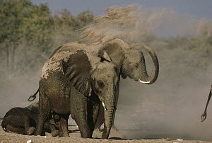 African Elephant (Loxodonta africana) group taking dust bath, Namibia - Jim Brandenburg