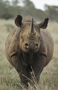 Black Rhinoceros (Diceros bicornis) portrait, South Africa - Jim Brandenburg