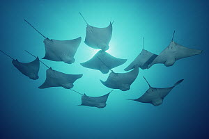 Golden Cownose Ray (Rhinoptera steindachneri) group underwater shot from below, group of ten, Galapagos Islands, Ecuador  -  Birgitte Wilms