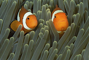 Blackfinned Clownfish (Amphiprion percula) pair in Magnificent Sea Anemone (Heteractis magnifica) host, Solomon Islands  -  Chris Newbert