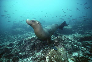 Galapagos Sea Lion (Zalophus wollebaeki) underwater, Galapagos Islands, Ecuador  -  Chris Newbert