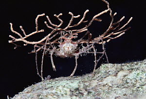Decorator Crab, holding a broken piece of Sea Fan as camouflage, night, Red Sea - Chris Newbert
