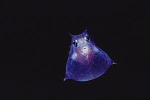 Cowfish (Lactoria diaphanus) juvenile pelagic stage, night, Kona, Hawaii - Chris Newbert