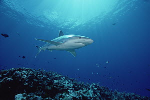 Silver-tip Shark (Carcharhinus albimarginatus) 30 feet deep, Papua New Guinea  -  Chris Newbert