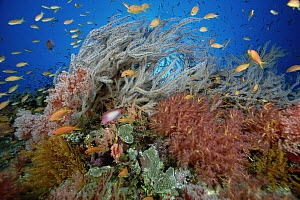 Reef scenic, many species of Soft Coral and Basslet (Pseudanthias sp) school, 50 feet deep Solomon Islands - Chris Newbert