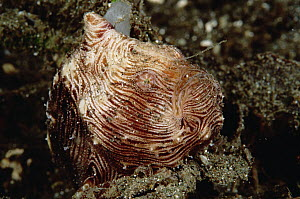 Frogfish (Antennarius sp) with fishing lure extended, 1-2 inches long, 50 feet deep, Papua New Guinea  -  Chris Newbert