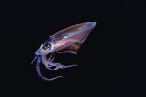 Squid (Loligo sp) portrait underwater, Hawaii - Chris Newbert