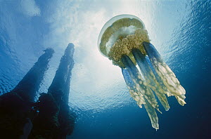 Papuan Jellyfish (Mastigias papua) 20 feet deep, Solomon Islands - Chris Newbert