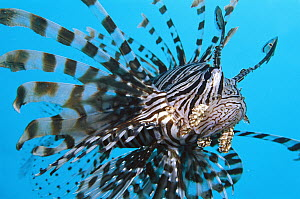 Common Lionfish (Pterois volitans), 70 feet deep, Solomon Islands  -  Chris Newbert
