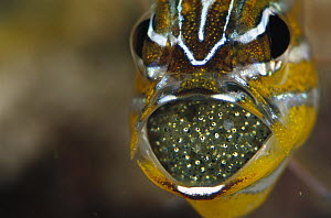Yellow-striped Cardinalfish (Apogon cyanosoma) male with eggs in mouth, 40 feet deep, Solomon Islands - Chris Newbert