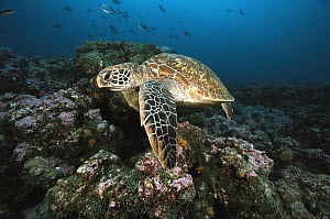 Green Sea Turtle (Chelonia mydas) swimming, Galapagos Islands, Ecuador  -  Chris Newbert